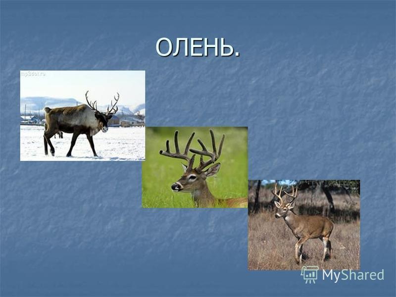ОЛЕНЬ.