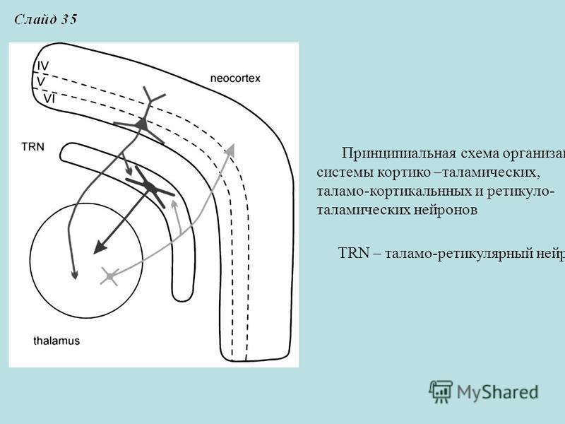 Принципиальная схема организации системы кортико –таламических, таламо-кортикальнных и ретикуло- таламических нейронов TRN – таламо-ретикулярный нейрон