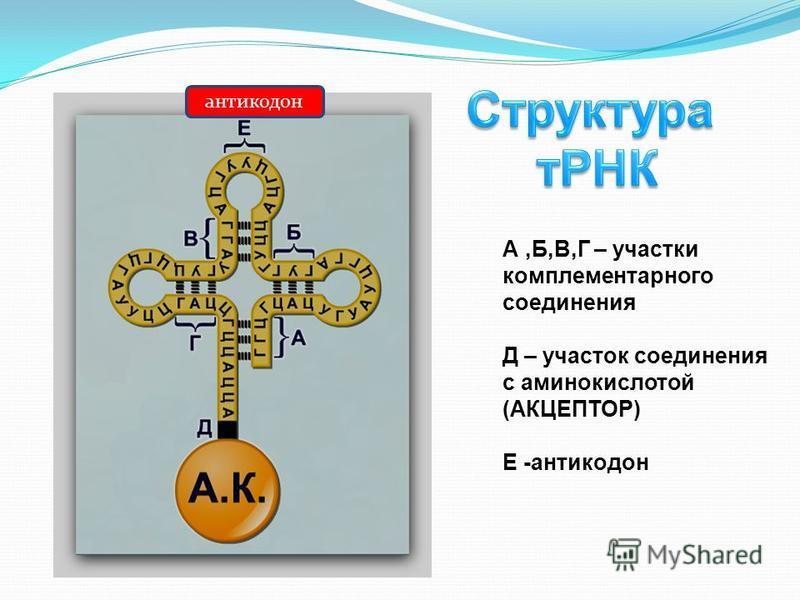 антикодон А,Б,В,Г – участки комплементарного соединения Д – участок соединения с аминокислотой (АКЦЕПТОР) Е -антикодон