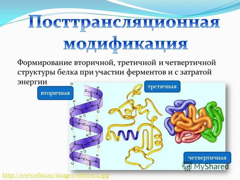 Формирование вторичной, третичной и четвертичной структуры белка при участии ферментов и с затратой энергии вторичная третичная четвертичная http://www.ebio.ru/images/08010502.jpg