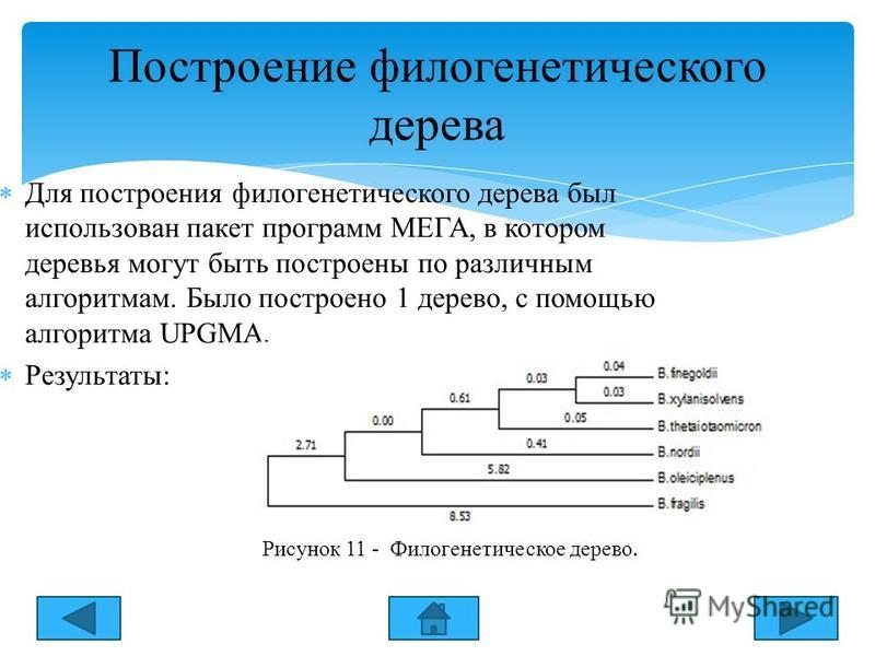 Для построения филогенетического дерева был использован пакет программ МЕГА, в котором деревья могут быть построены по различным алгоритмам. Было построено 1 дерево, с помощью алгоритма UPGMА. Результаты: Построение филогенетического дерева Рисунок 1