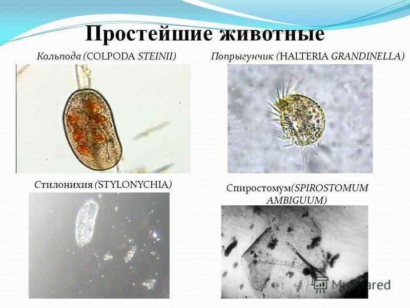 Кольпода (COLPODA STEINII) Попрыгунчик (HALTERIA GRANDINELLA) Спиростомум(SPIROSTOMUM AMBIGUUM) Cтилонихия (STYLONYCHIA) Простейшие животные