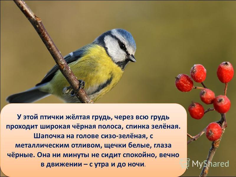 У этой птички жёлтая грудь, через всю грудь проходит широкая чёрная полоса, спинка зелёная. Шапочка на голове сизо-зелёная, с металлическим отливом, щечки белые, глаза чёрные. Она ни минуты не сидит спокойно, вечно в движении – с утра и до ночи.