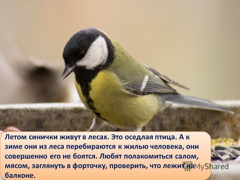Летом синички живут в лесах. Это оседлая птица. А к зиме они из леса перебираются к жилью человека, они совершенно его не боятся. Любят полакомиться салом, мясом, заглянуть в форточку, проверить, что лежит на балконе.