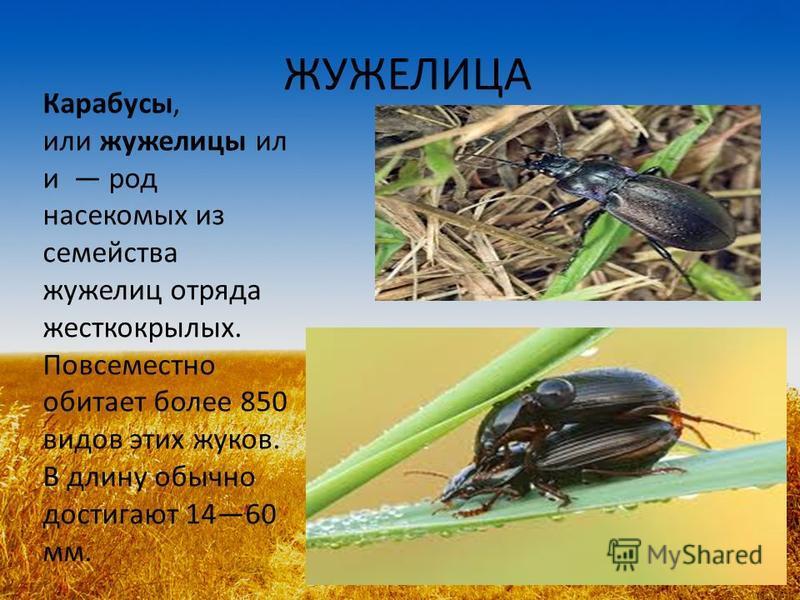 ЖУЖЕЛИЦА Карабусы, или жужелицы ил и род насекомых из семейства жужелиц отряда жесткокрылых. Повсеместно обитает более 850 видов этих жуков. В длину обычно достигают 1460 мм.