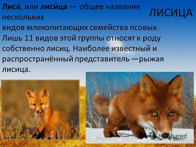 ЛИСИЦА Лиса́, или лиси́за общее название нескольких видов млекопитающих семейства псовых. Лишь 11 видов этой группы относят к роду собственно лисиц. Наиболее известный и распространённый представитель рыжая лисиза.