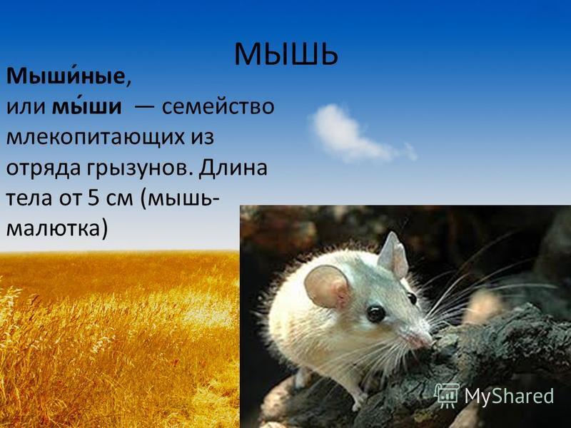 МЫШЬ Мыши́ные, или мы́ши семейство млекопитающих из отряда грызунов. Длина тела от 5 см (мышь- малютка)