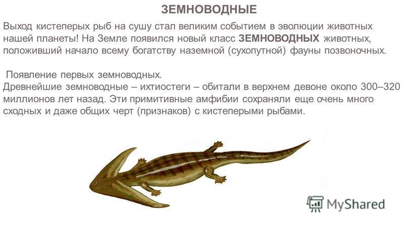 Выход кистеперых рыб на сушу стал великим событием в эволюции животных нашей планеты! На Земле появился новый класс ЗЕМНОВОДНЫХ животных, положивший начало всему богатству наземной (сухопутной) фауны позвоночных. Появление первых земноводных. Древней