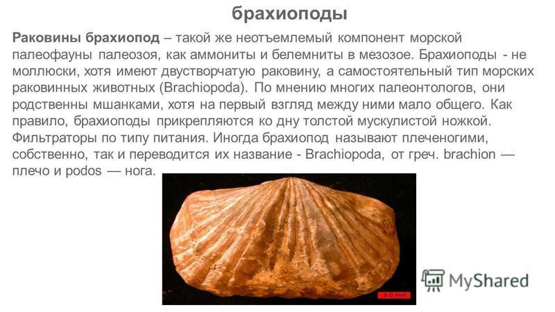 Раковины брахиопод – такой же неотъемлемый компонент морской палеофауны палеозоя, как аммониты и белемниты в мезозое. Брахиоподы - не моллюски, хотя имеют двустворчатую раковину, а самостоятельный тип морских раковинных животных (Brachiopoda). По мне