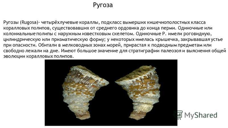 Ругозы (Rugosa)- четырёхлучевые кораллы, подкласс вымерших кишечнополостных класса коралловых полипов, существовавших от среднего ордовика до конца перми. Одиночные или колониальные полипы с наружным известковым скелетом. Одиночные Р. имели роговидну