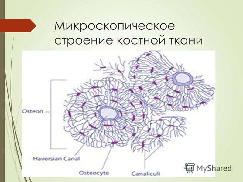 Микроскопическое строение костной ткани