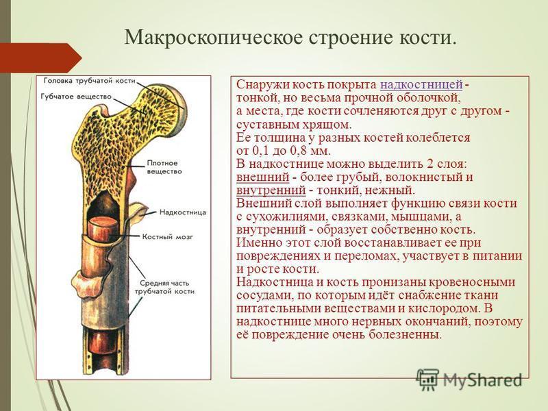 Макроскопическое строение кости. Снаружи кость покрыта надкостницей - тонкой, но весьма прочной оболочкой, а места, где кости сочленяются друг с другом - суставным хрящом. Ее толщина у разных костей колеблется от 0,1 до 0,8 мм. В надкостнице можно вы