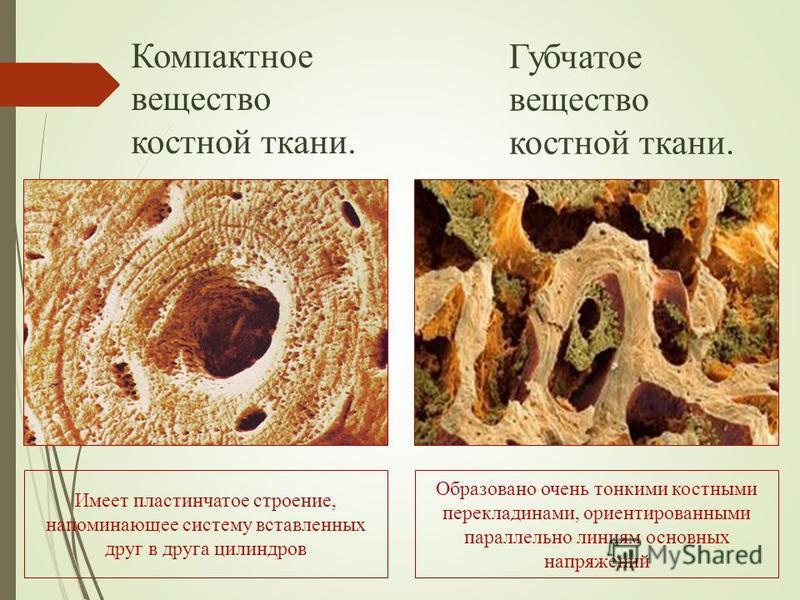 Компактное вещество костной ткани. Губчатое вещество костной ткани. Имеет пластинчатое строение, напоминающее систему вставленных друг в друга цилиндров Образовано очень тонкими костными перекладинами, ориентированными параллельно линиям основных нап
