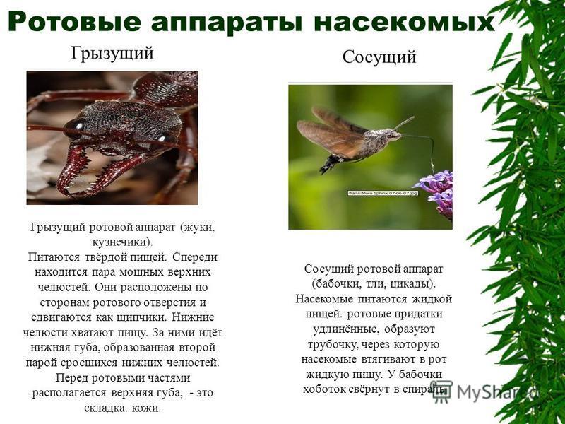 Ротовые аппараты насекомых Грызущий Грызущий ротовой аппарат (жуки, кузнечики). Питаются твёрдой пищей. Спереди находится пара мощных верхних челюстей. Они расположены по сторонам ротового отверстия и сдвигаются как щипчики. Нижние челюсти хватают пи