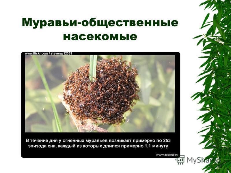 Муравьи-общественные насекомые