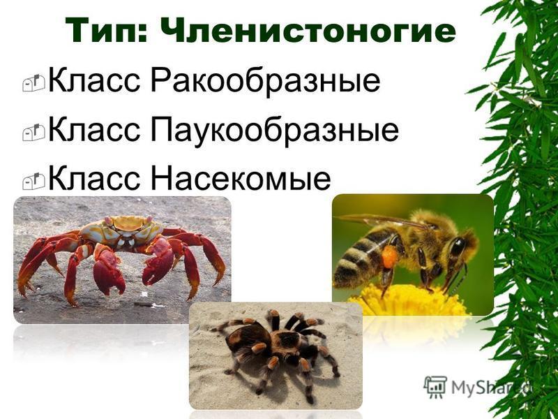 Класс Ракообразные Класс Паукообразные Класс Насекомые Тип: Членистоногие