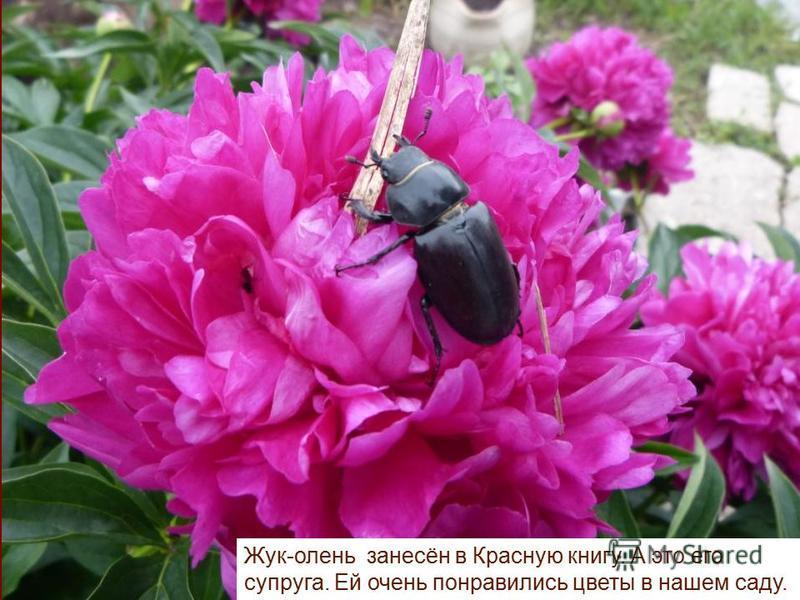 Жук-олень занесён в Красную книгу. А это его супруга. Ей очень понравились цветы в нашем саду.