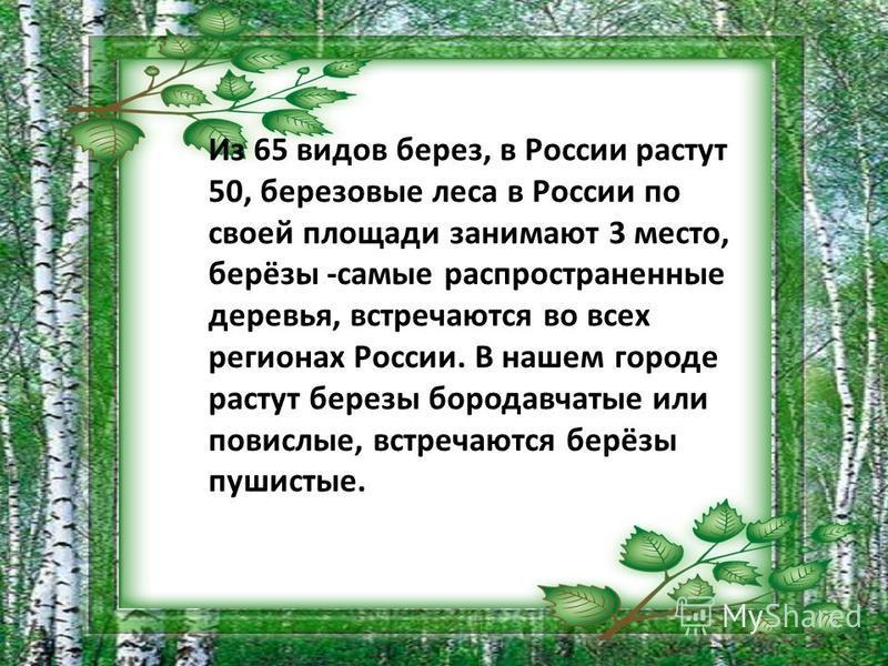 Из 65 видов берез, в России растут 50, березовые леса в России по своей площади занимают 3 место, берёзы -самые распространенные деревья, встречаются во всех регионах России. В нашем городе растут березы бородавчатые или повислые, встречаются берёзы