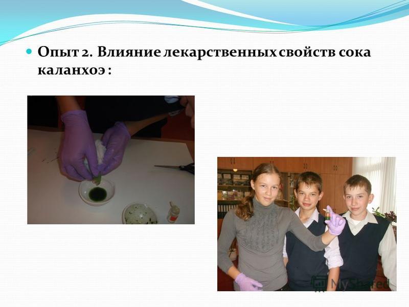 Опыт 2. Влияние лекарственных свойств сока каланхоэ :