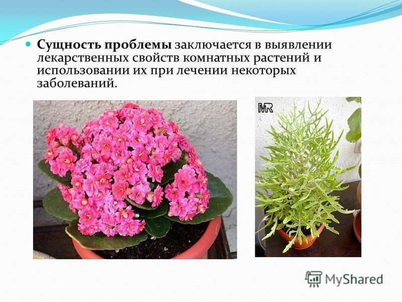 Сущность проблемы заключается в выявлении лекарственных свойств комнатных растений и использовании их при лечении некоторых заболеваний.