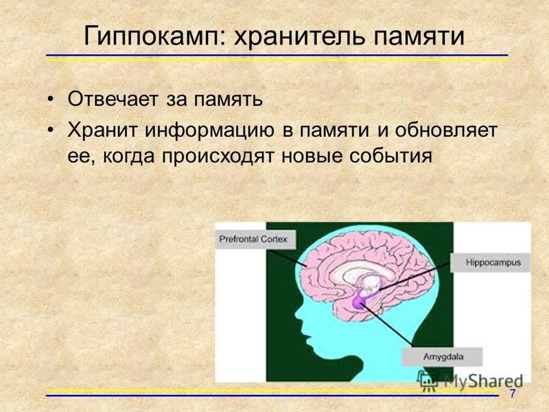 Гиппокамп: хранитель памяти Отвечает за память Хранит информацию в памяти и обновляет ее, когда происходят новые события 7