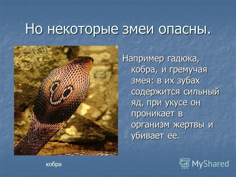 Но некоторые змеи опасны. Например гадюка, кобра, и гремучая змея: в их зубах содержится сильный яд, при укусе он проникает в организм жертвы и убивает ее. кобра
