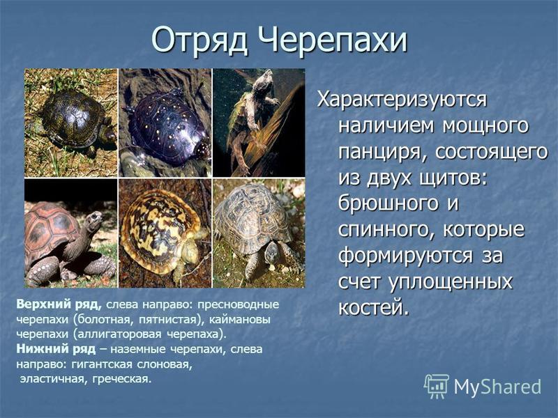 Отряд Черепахи Характеризуются наличием мощного панциря, состоящего из двух щитов: брюшного и спинного, которые формируются за счет уплощенных костей. Верхний ряд, слева направо: пресноводные черепахи (болотная, пятнистая), каймановы черепахи (аллига