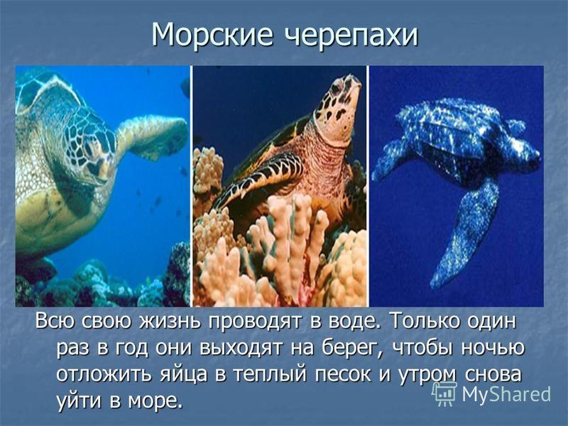 Морские черепахи Всю свою жизнь проводят в воде. Только один раз в год они выходят на берег, чтобы ночью отложить яйца в теплый песок и утром снова уйти в море.