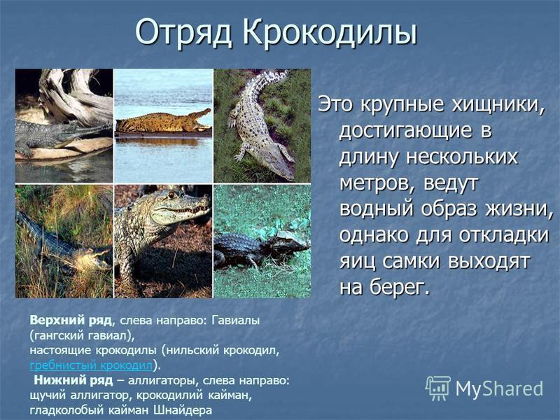 Отряд Крокодилы Это крупные хищники, достигающие в длину нескольких метров, ведут водный образ жизни, однако для откладки яиц самки выходят на берег. Верхний ряд, слева направо: Гавиалы (гангский гавиал), настоящие крокодилы (нильский крокодил, гребн