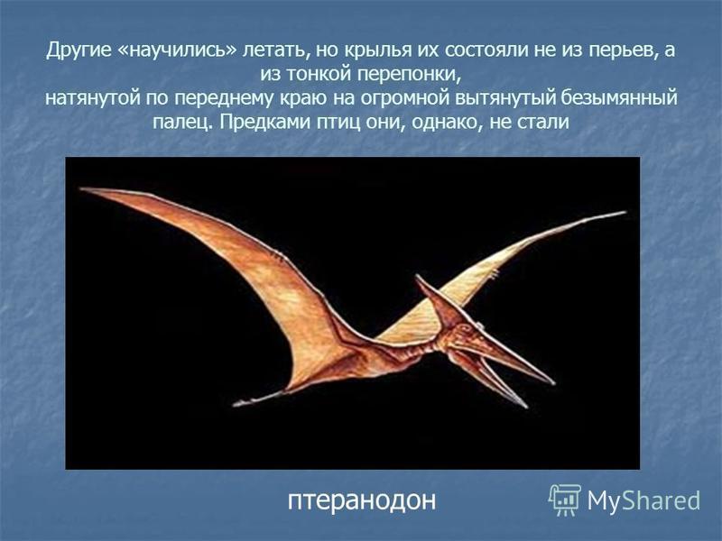 Другие «научились» летать, но крылья их состояли не из перьев, а из тонкой перепонки, натянутой по переднему краю на огромной вытянутый безымянный палец. Предками птиц они, однако, не стали птеранодон