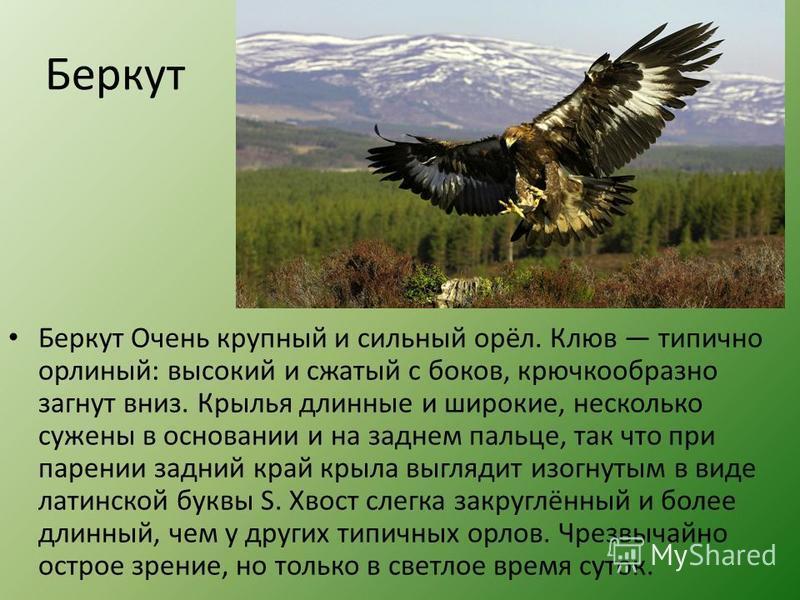 Беркут Беркут Очень крупный и сильный орёл. Клюв типично орлиный: высокий и сжатый с боков, крючкообразно загнут вниз. Крылья длинные и широкие, несколько сужены в основании и на заднем пальце, так что при парении задний край крыла выглядит изогнутым