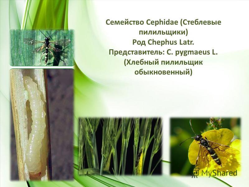 Семейство Сephidae (Стеблевые пилильщики) Род Chephus Latr. Представитель: C. pygmaeus L. (Хлебный пилильщик обыкновенный)