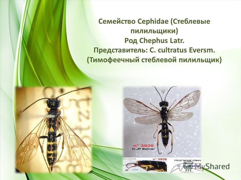 Семейство Сephidae (Стеблевые пилильщики) Род Chephus Latr. Представитель: C. cultratus Eversm. (Тимофеечный стеблевой пилильщик)