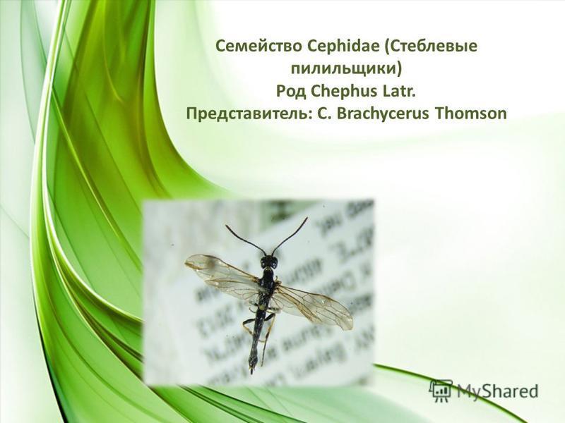 Семейство Сephidae (Стеблевые пилильщики) Род Chephus Latr. Представитель: С. Brachycerus Thomson