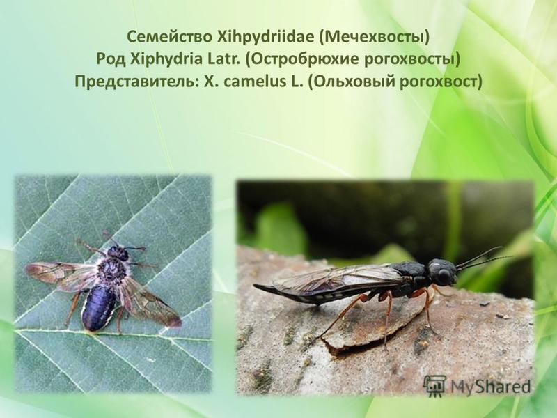 Семейство Xihpydriidae (Мечехвосты) Род Xiphydria Latr. (Остробрюхие рогохвосты) Представитель: X. camelus L. (Ольховый рогохвост)