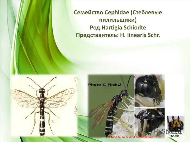 Семейство Сephidae (Стеблевые пилильщики) Род Hartigia Schiodte Представитель: H. linearis Schr.