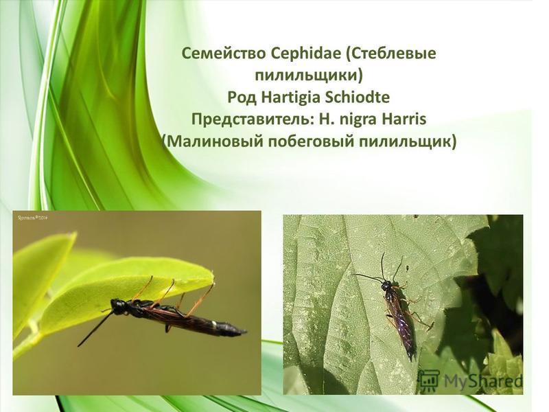 Семейство Сephidae (Стеблевые пилильщики) Род Hartigia Schiodte Представитель: H. nigra Harris (Малиновый побеговый пилильщик)