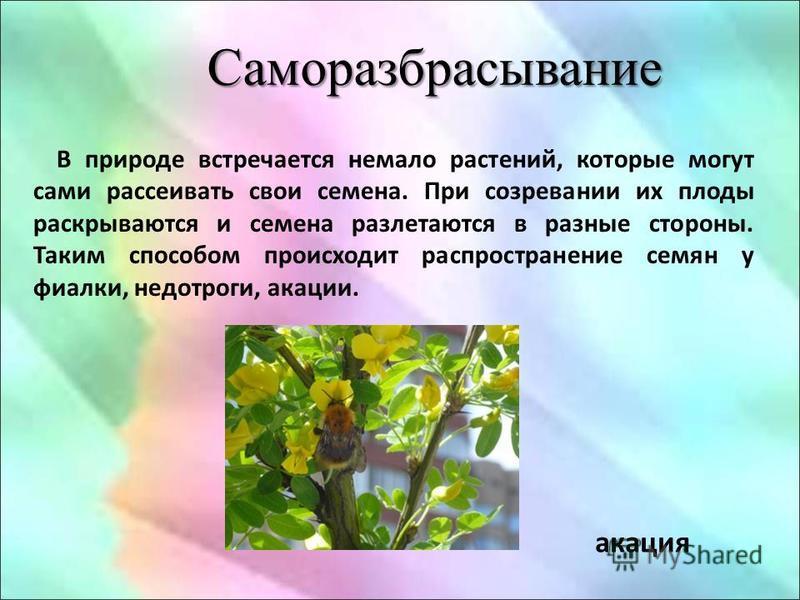 В природе встречается немало растений, которые могут сами рассеивать свои семена. При созревании их плоды раскрываются и семена разлетаются в разные стороны. Таким способом происходит распространение семян у фиалки, недотроги, акации. Саморазбрасыван