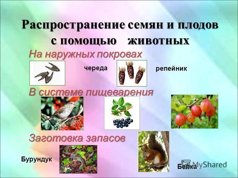 Распространение семян и плодов с помощью животных На наружных покровах череда В системе пищеварения Заготовка запасов репейник Бурундук Белка
