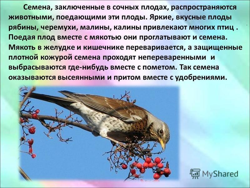 . Семена, заключенные в сочных плодах, распространяются животными, поедающими эти плоды. Яркие, вкусные плоды рябины, черемухи, малины, калины привлекают многих птиц. Поедая плод вместе с мякотью они проглатывают и семена. Мякоть в желудке и кишечник