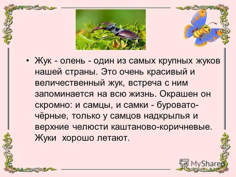Жук - олень - один из самых крупных жуков нашей страны. Это очень красивый и величественный жук, встреча с ним запоминается на всю жизнь. Окрашен он скромно: и самцы, и самки - буровато- чёрные, только у самцов надкрылья и верхние челюсти каштаново-к