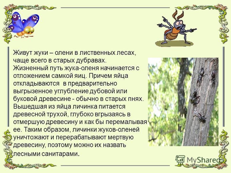 Живут жуки – олени в лиственных лесах, чаще всего в старых дубравах. Жизненный путь жука-оленя начинается с отложением самкой яиц. Причем яйца откладываются в предварительно выгрызенное углубление дубовой или буковой древесине - обычно в старых пнях.