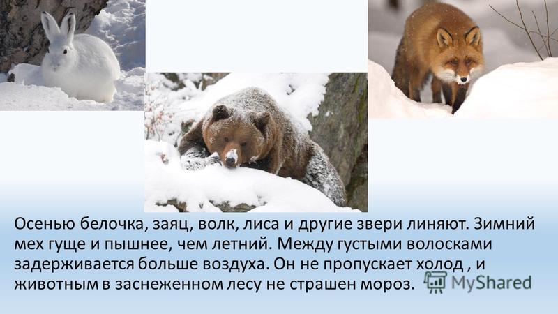 Осенью белочка, заяц, волк, лиса и другие звери линяют. Зимний мех гуще и пышнее, чем летний. Между густыми волосками задерживается больше воздуха. Он не пропускает холод, и животным в заснеженном лесу не страшен мороз.