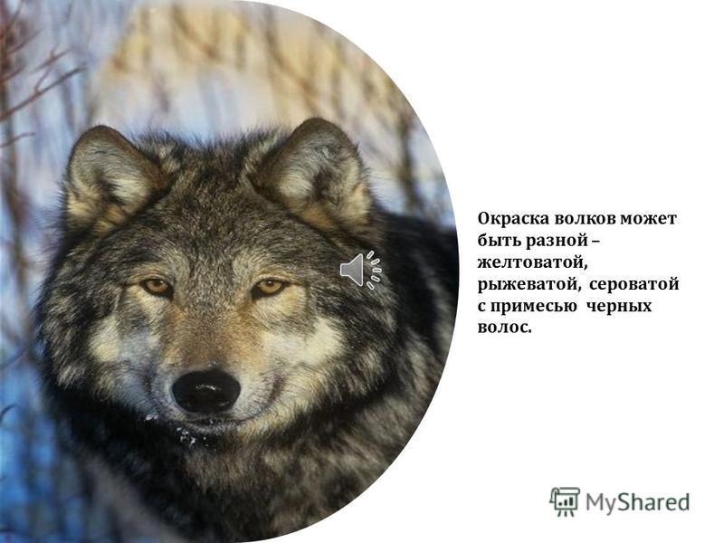 Туловище у волка вытянутое, ноги длинные, шерсть густая.