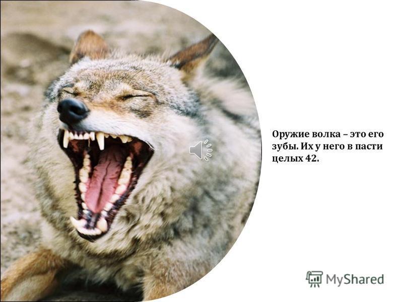 Окраска волков может быть разной – желтоватой, рыжеватой, сероватой с примесью черных волос.