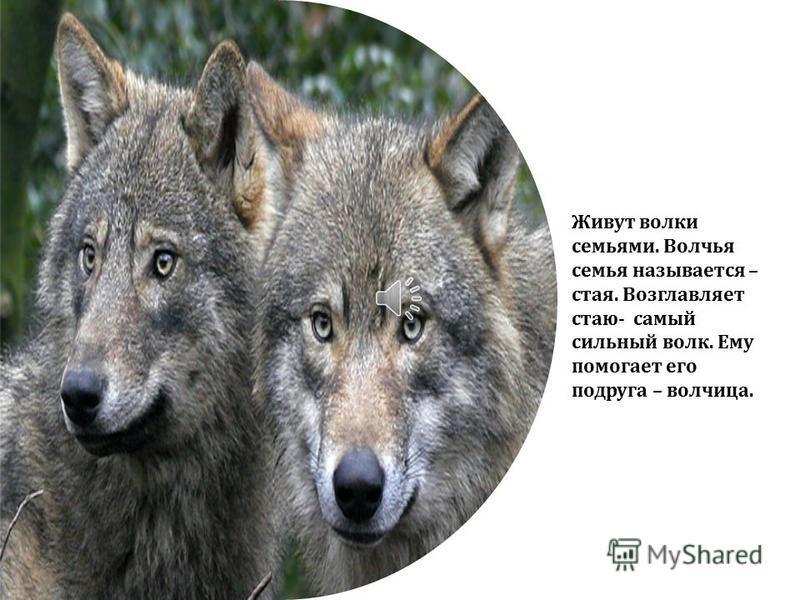 Оружие волка – это его зубы. Их у него в пасти целых 42.