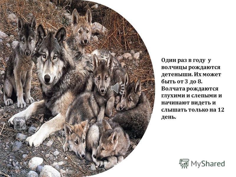 Живут волки семьями. Волчья семья называется – стая. Возглавляет стаю- самый сильный волк. Ему помогает его подруга – волчица.