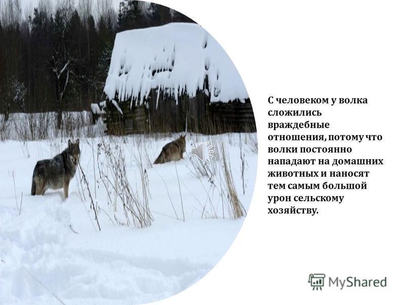 Один раз в году у волчицы рождаются детеныши. Их может быть от 3 до 8. Волчата рождаются глухими и слепыми и начинают видеть и слышать только на 12 день.