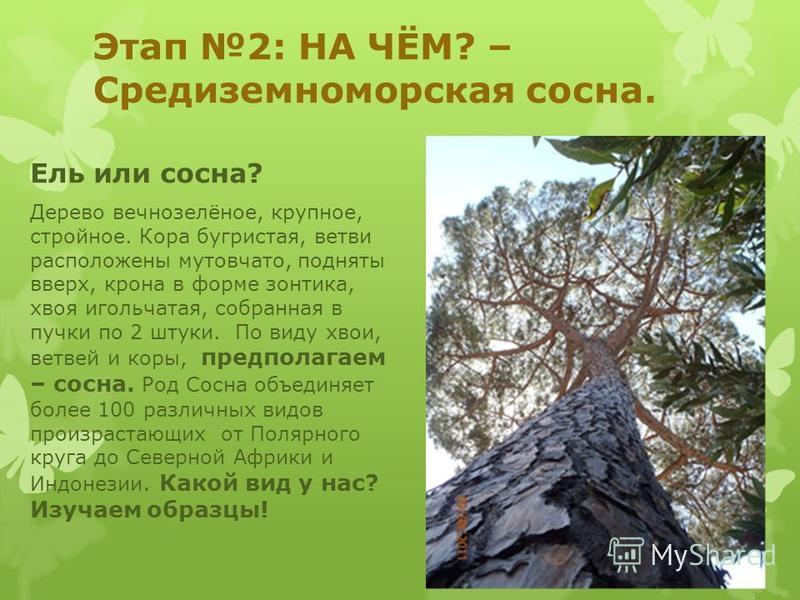 Этап 2: НА ЧЁМ? – Средиземноморская сосна. Ель или сосна? Дерево вечнозелёное, крупное, стройное. Кора бугристая, ветви расположены мутовчато, подняты вверх, крона в форме зонтика, хвоя игольчатая, собранная в пучки по 2 штуки. По виду хвои, ветвей и