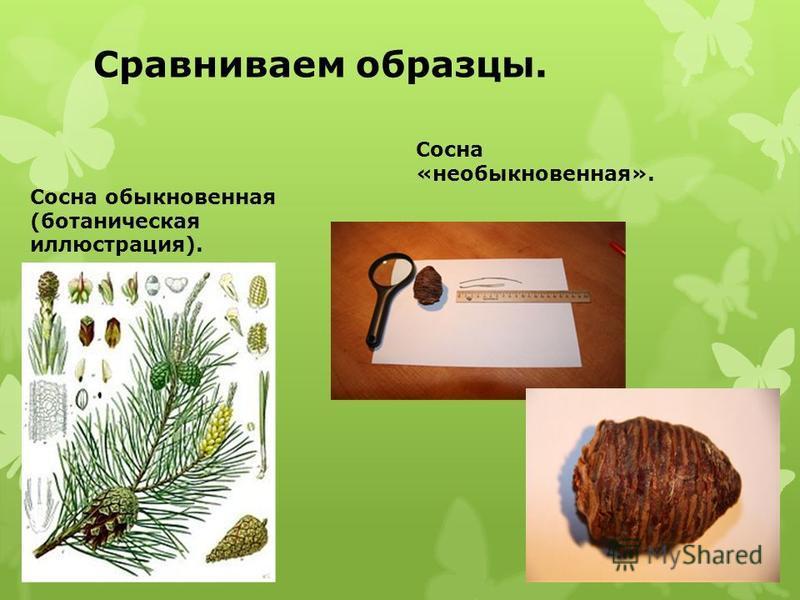 Сравниваем образцы. Сосна «необыкновенная». Сосна обыкновенная (ботаническая иллюстрация).